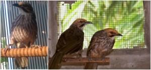Burung Cucak Rowo Ropel
