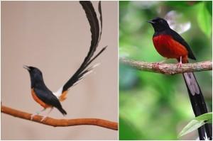 Gambar Burung Murai Batu Lampung