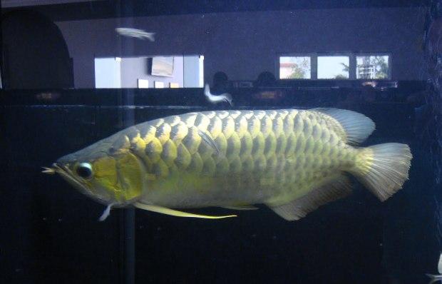 Gambar Ikan Arwana Jantan