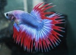 Gambar Ikan Cupang Crowntail