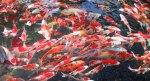 Gambar Ikan Koi Jepang
