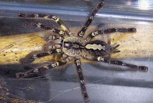 Gambar Tarantula Fringed Ornamental