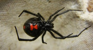 Gigitan Laba-Laba Black Widow