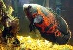 Pakan untuk Ikan Oscar Batik