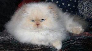 Cara Menghilangkan Kutu Pada Kucing Persia