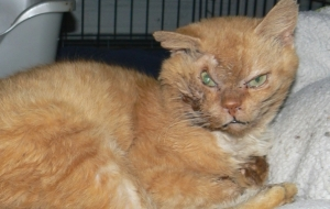 Cara Menyembuhkan Sakit Mata Pada Kucing