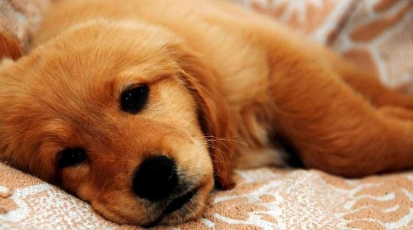 Foto Anjing dengan Penyakit Parvovirus