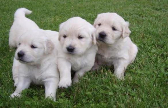 Cara Merawat Dan Melatih Anjing Golden Retriever Aneka Info Unik