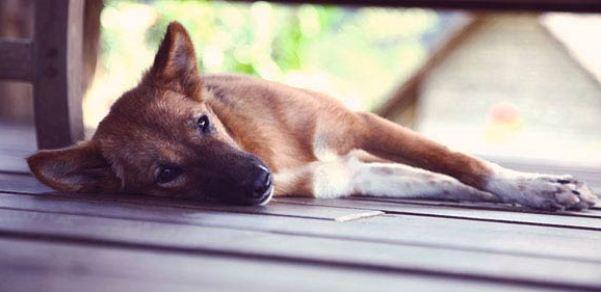 Gambar Anjing dengan Penyakit Cacing Jantung