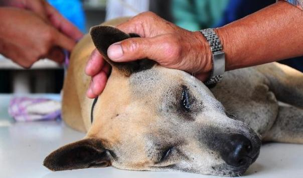Gejala-Gejala Kanker pada Anjing