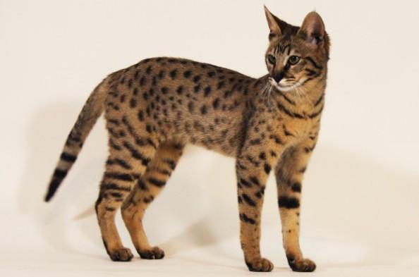 Harga Jual Kucing Savannah di Indonesia