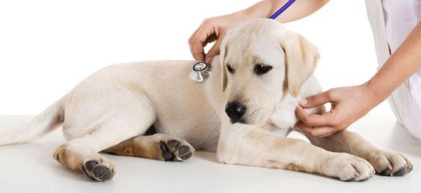 Penyakit Hepatitis Kronis pada Anjing