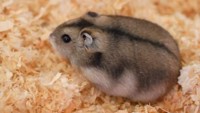 Harga hamster kerdil campbell albino dan panda aneka - Hamster russe panda ...