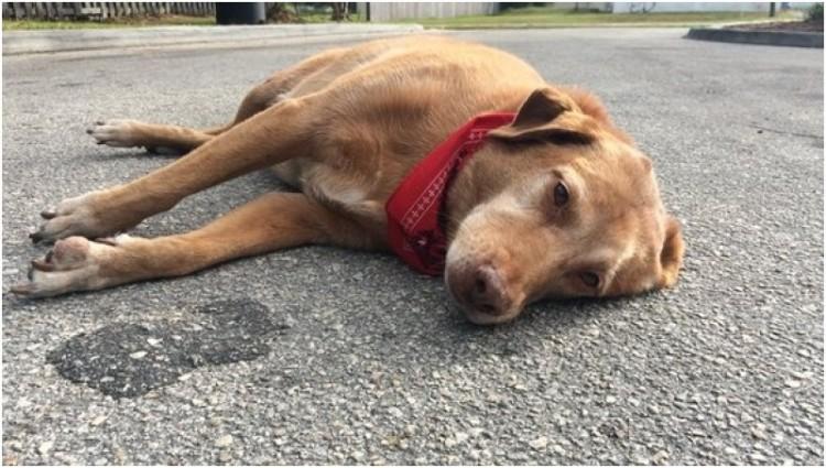 Paco, anjing yang tertidur di lokasi majikannya tewas ditabrak lari