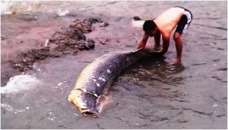 Ini Penampakan Ikan Raksasa yang Terdampar di Sungai Ciliwung