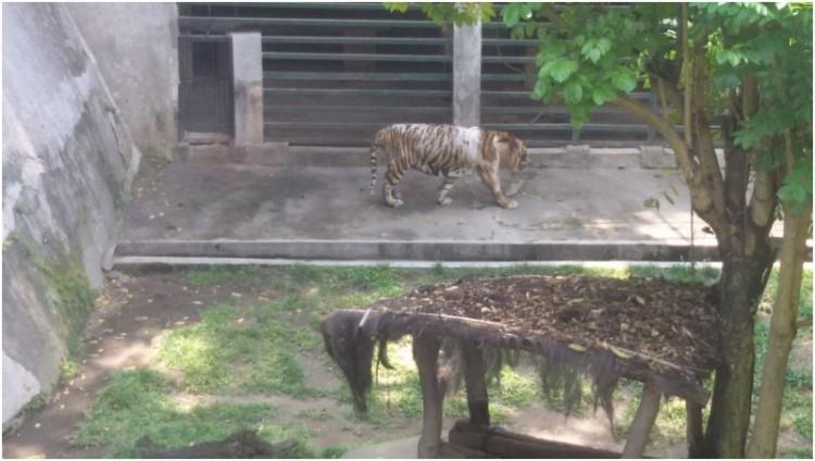 Kondisi Harimau di kebun binatang Gembira Loka Yogyakarta