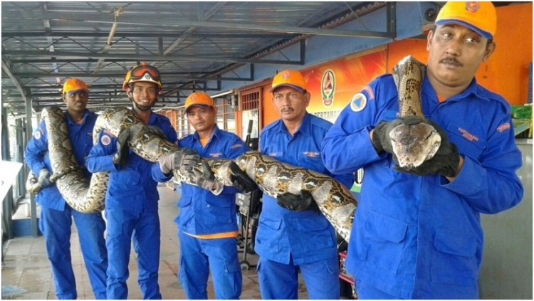 Petugas di Malaysia memamerkan ular phyton panjang 8 meter