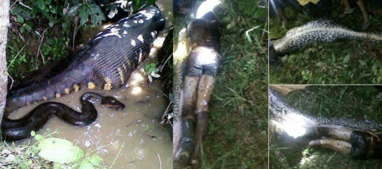Akbar ditemukan tewas ditelan ular piton