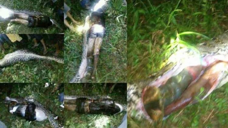 Petani kelapa sawit dimangsa ular piton di Mamuju