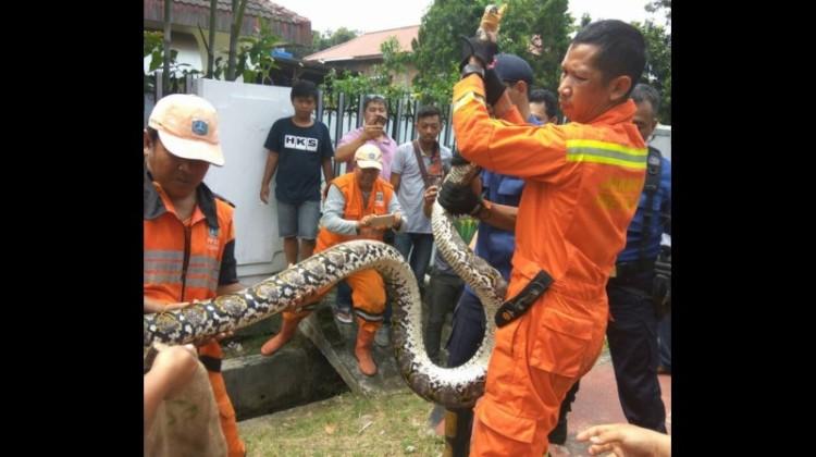 Penampakan ular piton 4 meter di Pasar Minggu