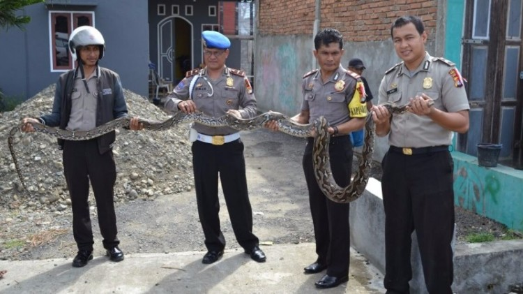 Polisi amankan ular piton di Mamuju Utara