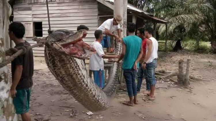 Penampakan ular piton 7 meter yang menyerang warga Inhu Riau
