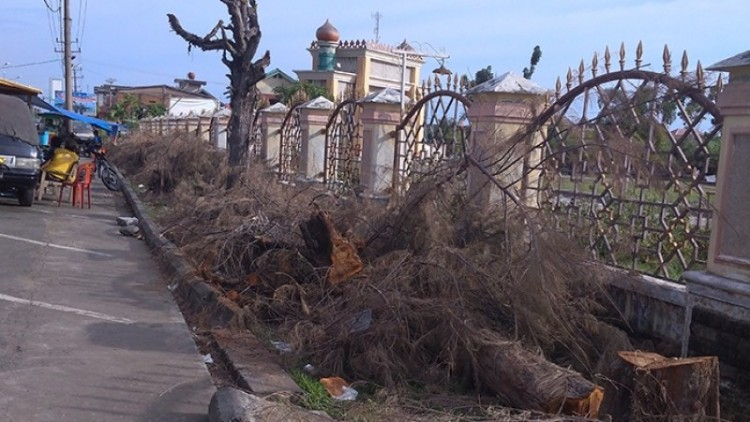 Pohon Cemara ditebang di depan Masjid Agung Meulaboh
