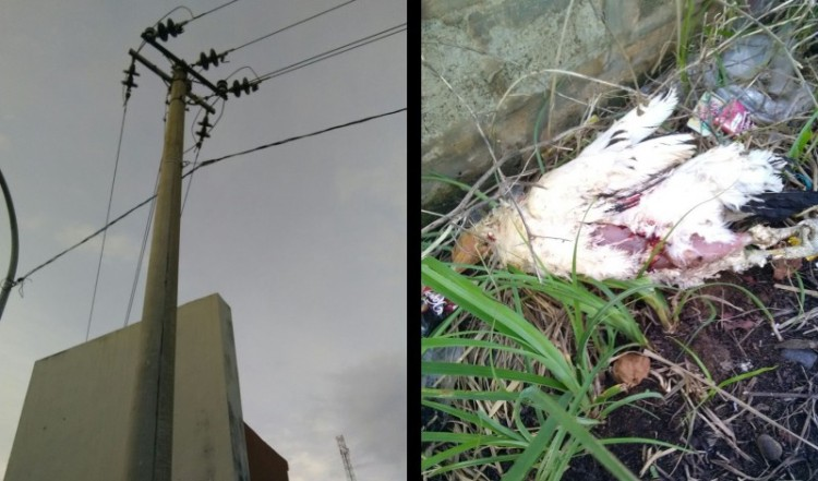 Tiang listrik lokasi tempat ayam tersengat